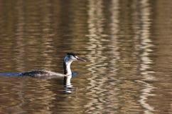 Um grande mergulhão com crista na plumagem do inverno Fotografia de Stock Royalty Free