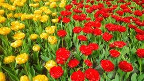 Um grande número tulipas amarelas e vermelhas que crescem no canteiro de flores dividiram-se em duas porções Foto de Stock Royalty Free