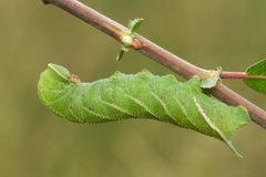 Um grande ocellata Eyed de Caterpillar Smerinthus da Falcão-traça que descansa em um galho durante o dia fotografia de stock royalty free