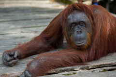 Um grande orangotango vermelho que encontra-se em uma plataforma de madeira e pensa (Indonésia) Fotografia de Stock