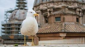 Um grande pássaro branco na perspectiva da basílica no Vaticano imagens de stock royalty free
