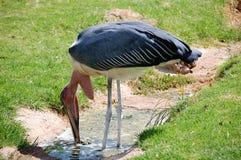 Um grande pássaro do empresário da cegonha de marabu vadear imagem de stock royalty free