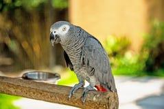 Um grande papagaio cinzento do zhako, sentando-se em um ramo de árvore foto de stock royalty free