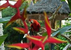 Um grande papagaio colorido Fotos de Stock