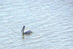 Um grande Pelecanus Onocrotalus do pelicano branco Fotos de Stock