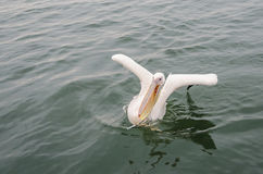 Um grande pelicano branco Imagens de Stock