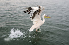 Um grande pelicano branco Foto de Stock