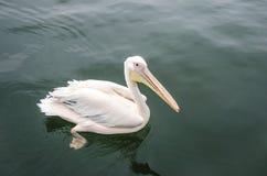 Um grande pelicano branco Imagem de Stock