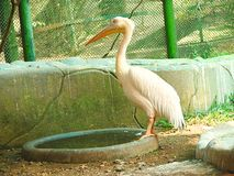 Um grande pelicano branco Foto de Stock Royalty Free