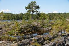 Um grande pinheiro e muitos pequenos na costa rochosa estreita da baía do lago em um dia ensolarado claro do fim do verão foto de stock royalty free