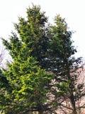 Um grande pinheiro verde no monte Imagem de Stock Royalty Free