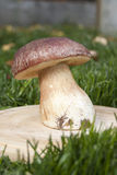 Um grande porcini branco do cogumelo na grama no sol Fotos de Stock Royalty Free