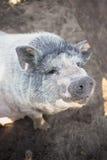 Um grande porco branco Fotografia de Stock Royalty Free