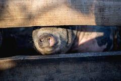 Um grande porco branco Fotos de Stock Royalty Free