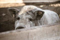 Um grande porco branco Foto de Stock Royalty Free
