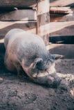 Um grande porco branco Imagem de Stock
