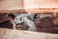 Um grande porco branco Imagens de Stock Royalty Free
