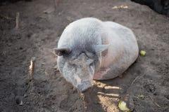 Um grande porco branco Imagens de Stock