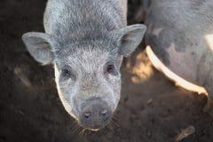 Um grande porco branco Imagem de Stock Royalty Free