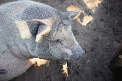 Um grande porco branco na exploração agrícola Foto de Stock