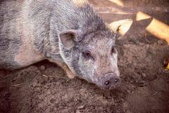 Um grande porco branco na exploração agrícola Imagem de Stock Royalty Free