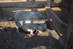 Um grande porco branco na exploração agrícola Imagens de Stock