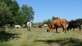 Um grande rebanho de vacas de leiteria é pastado pela exploração agrícola da floresta foto de stock