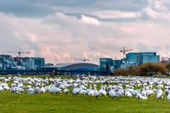 Um grande rebanho dos gansos brancos na grama verde, construções novas de olá! imagens de stock royalty free