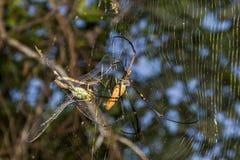 Um grande tecelão dourado do norte da esfera ou uma aranha dourada gigante do tecelão da esfera estão comendo sua rapina Os pilip foto de stock royalty free