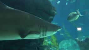 Um grande tubarão com nadadas dos dentes afiados após peixes pequenos profundamente filme