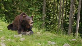 Um grande urso marrom descansa em uma clareira Floresta no fundo Vida selvagem da floresta filme