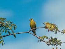 Um greenfinch europeu que senta-se em um ramo de árvore de Rowan fotos de stock royalty free