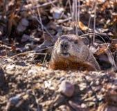 Um groundhog emerge de seu furo na terra na mola fotos de stock royalty free