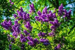Um grupo bonito de flores lilás das flores com algumas folhas verdes Flores lilás no jardim imagem de stock