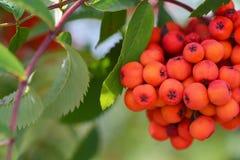 Um grupo da cinza de montanha vermelha que pendura em um ramo de árvore no outono fotos de stock royalty free