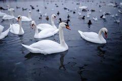 Um grupo da cisne branca bonita que flutua em uma água fria imagem de stock royalty free