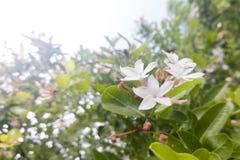 Um grupo da flor branca no fundo da folha do borrão após chover imagem de stock