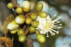 Um grupo da flor em botão do durian Imagens de Stock