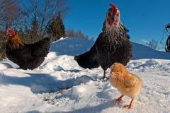Um grupo da raça de Hedemora da Suécia na neve, com uma galinha dias de idade fotografia de stock royalty free