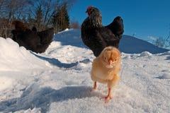 Um grupo da raça de Hedemora da Suécia na neve, com uma galinha dias de idade fotografia de stock