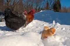 Um grupo da raça de Hedemora da Suécia na neve, com uma galinha dias de idade imagens de stock