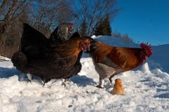 Um grupo da raça de Hedemora da Suécia na neve, com uma galinha dias de idade foto de stock