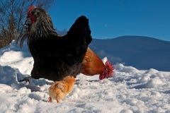 Um grupo da raça de Hedemora da Suécia na neve, com uma galinha dias de idade fotos de stock royalty free
