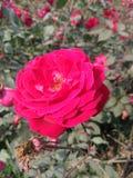 Um grupo da rosa vermelha no jardim imagem de stock royalty free