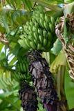 Um grupo das bananas verdes que penduram da árvore Imagens de Stock