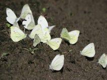 Um grupo das borboletas pequenas brancas que sentam-se na terra foto de stock