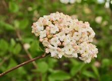 Um grupo das flores do viburnum e das folhas brancas e cor-de-rosa do verde Fotografia de Stock
