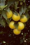 Um grupo das laranjas de Florida que penduram de uma árvore Fotografia de Stock Royalty Free