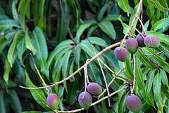 Um grupo das manga verdes que penduram de uma árvore de manga em uma plantação Fotos de Stock Royalty Free