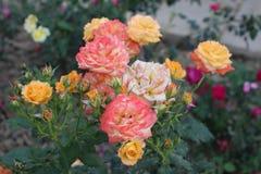 Um grupo das rosas cor-de-rosa e amarelas fotografia de stock royalty free